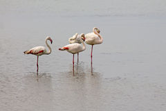 Flamingo. Group of pink flamingos on the lake Royalty Free Stock Photography