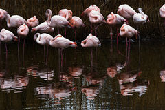 Flamingo group in water Stock Images