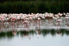 flamingo, grupa s Obraz Stock