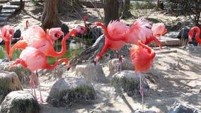 Flamingo-Gruppe sucht etwas zu essen stock video