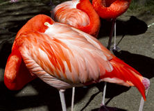 Flamingo-Haar (Phoenicopterus) Lizenzfreies Stockfoto