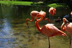 Flamingo-Haltung Lizenzfreie Stockfotografie