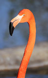 Flamingo head Stock Photography