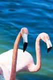 Flamingo head Royalty Free Stock Photo