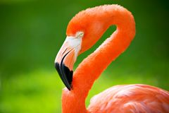 Flamingo head. Bright colored flamingo on plush green background Royalty Free Stock Photography