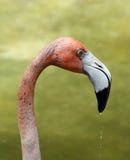 Flamingo head Royalty Free Stock Image