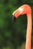 Flamingo head Stock Image