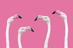 An flamingo head. Flamingo head on a pink background in close up Stock Photo