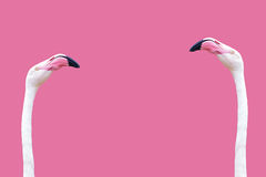 An flamingo head. Flamingo head on a pink background in close up Stock Photos