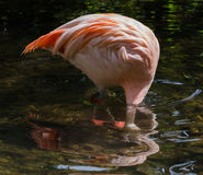 Flamingo. With head submerged in water Royalty Free Stock Images