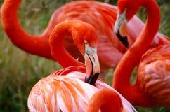 Flamingo het Verzorgen royalty-vrije stock afbeeldingen
