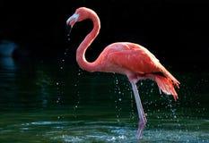 Flamingo in het water stock afbeeldingen