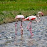 Flamingo in het wild, fuente DE piedra royalty-vrije stock afbeeldingen