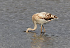 Flamingo hiding face in the lake Stock Images