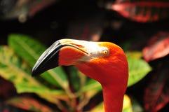 Flamingo Hoofdschot Royalty-vrije Stock Afbeelding