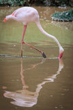 Flamingo hunting for fish Royalty Free Stock Image