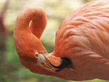 Flamingo Hygiene Royalty Free Stock Photography