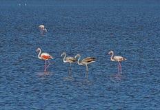 Flamingo i övergav salta pannor av Ulcinj Arkivfoton