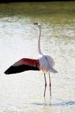 Flamingo i Camargue Arkivbilder
