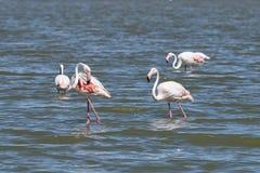 Flamingo i Camargue Fotografering för Bildbyråer