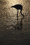 Flamingo i Camarguen, Frankrike Arkivbild