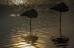 Flamingo i Camarguen, Frankrike Arkivbilder