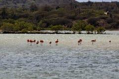 Flamingo i Curacao Royaltyfri Bild