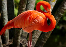 Flamingo i dammet Royaltyfria Bilder