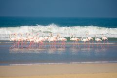 Flamingo i De Mond den kust- naturreserven, Sydafrika royaltyfri fotografi