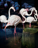 Flamingo i den Chiang Mai zoo Arkivbilder