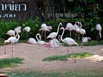 Flamingo i den Pattaya zoo, Thailand Royaltyfria Foton