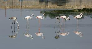 Flamingo i Eker liten vik Bahrain Arkivbilder