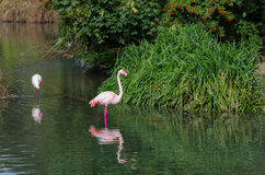 Flamingo i en parkera Royaltyfri Bild