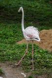 Flamingo i en rysk zoo Royaltyfria Bilder