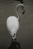 Flamingo i en rysk zoo Arkivfoton
