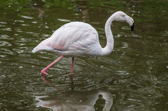 Flamingo i en rysk zoo Arkivfoto