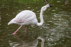 Flamingo i en rysk zoo Fotografering för Bildbyråer
