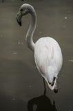 Flamingo i en rysk zoo Royaltyfri Fotografi