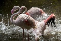 Flamingo i handling Royaltyfri Fotografi