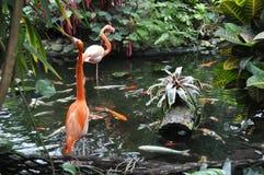 Flamingo i Koi Pond Arkivbild