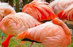 Flamingo i natur Phoenicopterus ruber, också som är bekant som den amerikanska flamingo Royaltyfri Fotografi