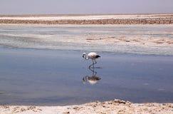 Flamingo i Salar de Atacama, Chile Arkivbild