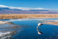 Flamingo i sjön Chaxa Arkivfoto