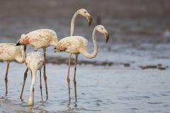 Flamingo i vatten Fotografering för Bildbyråer