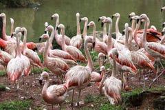 Flamingo i zoo av Sao Paulo, Brasilien Arkivfoto