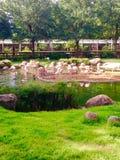 Flamingo i zoo & x28en; Phoenicopterus ruber& x29; Arkivfoto