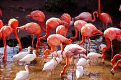 Flamingo and Ibis Royalty Free Stock Photos