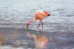 Flamingo in Icy Water Stock Photography