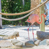 Flamingo and Iguana on the beach Stock Photos