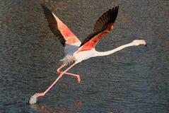 Flamingo im Flug Lizenzfreies Stockfoto